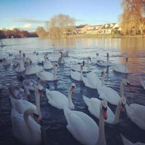 Such_a_spectacular_sight._Swans_on_the_river__Thames_in__Staines._I_ve_loved_feeding_these_beauties_since_I_was_9yrs_old._Simple_relaxing_pleasures..jpg