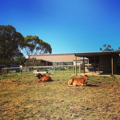 Morning_walk_around__queanbeyan__nsw._Cows___Haha_I_m_such_a_city_girl_